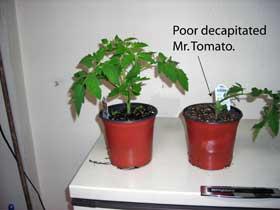 poor mr. tomato
